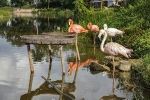 pink flamingos in cuba